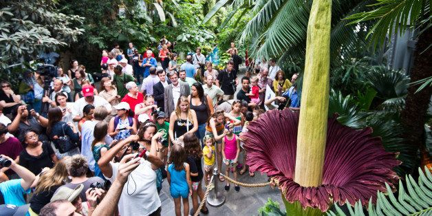 Tourists look at the blooming Titan Arum plant July 22, 2013 at the US Botanic Garden in Washington, DC. The titan arum (Amor