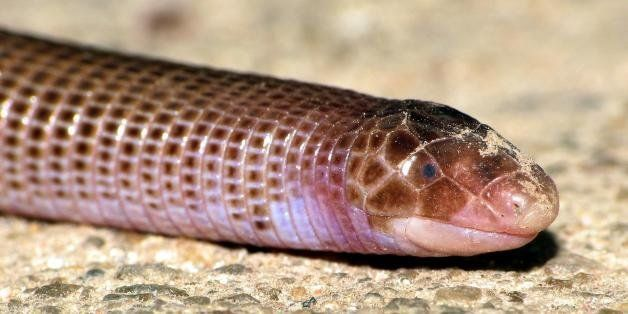 """The Amphisbaenidae are a family of amphisbaenians, commonly known as worm lizards. They are found in North and South America, some Caribbean islands, and in sub-Saharan Africa. One primitive and somewhat aberrant genus, Blanus, is native to Europe, and may represent a distinct family. Members of the family are limbless, burrowing, lizard-like reptiles with a carnivorous diet. Some species have spade-like heads, while others have a narrow crest. source: <a href=""""http://en.wikipedia.org/wiki/Amphisbaenidae"""" role=""""link"""" data-ylk=""""subsec:paragraph;itc:0;cpos:__RAPID_INDEX__;pos:__RAPID_SUBINDEX__;elm:context_link"""">en.wikipedia.org/wiki/Amphisbaenidae</a>"""