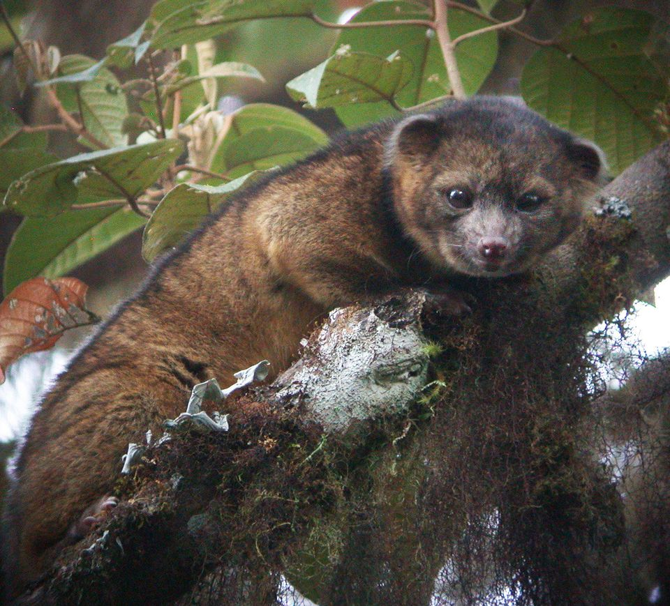 This undated handout photo provided by Mark Gurney shows a olinguito. Imagine a raccoon with a teddy bear face that is so cut