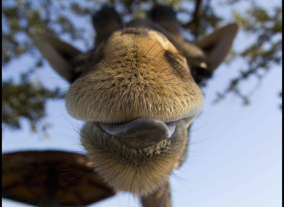 A giraffe licks its lips at the Houston Zoo Thursday, Dec. 1, 2011, in Houston. The Houston Zoo started its Gift of Grub camp