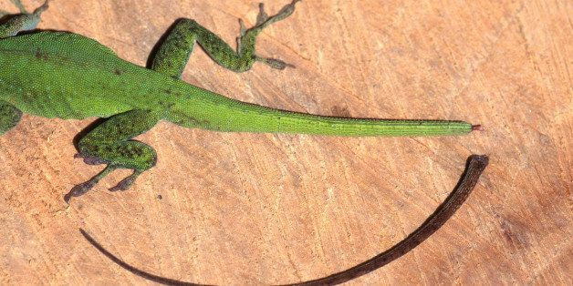 Scientists Have Figured Out How Lizards Regrow Their Tails