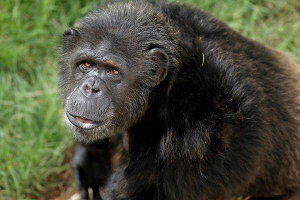 Ashely is acing the sanctuary's positive reinforcement training program, wherein staffers teach chimps to present various bod