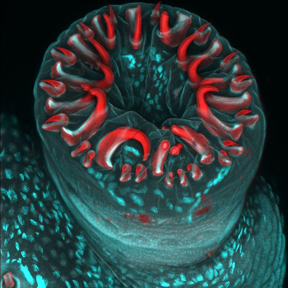 4th Place: Ms. Karin Panser Institute of Molecular Pathology I.M.P. Vienna, Austria. Caterpillar proleg with circle of grippi