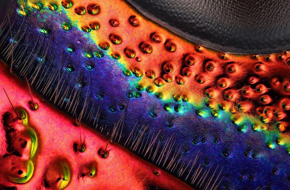 15th Place: Mr. Charles Krebs Charles Krebs Photography Issaquah, Washington, USA. Chrysochroa buqueti (jewel beetle) carapac
