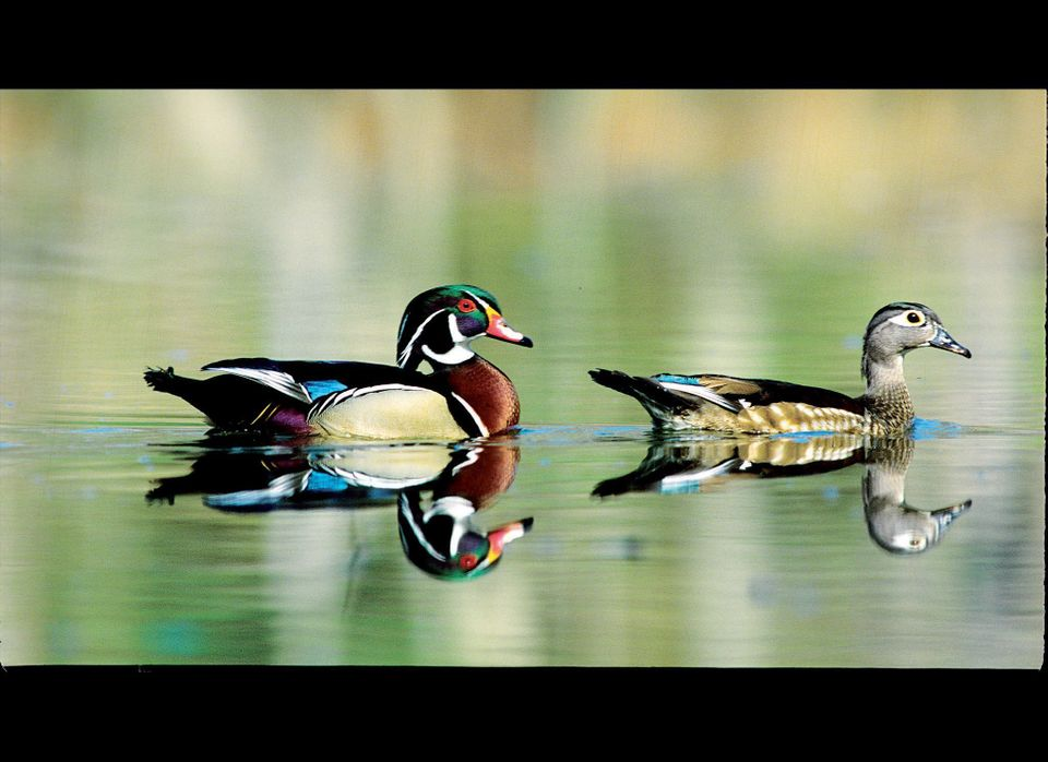 Just one day after they hatch, Wood Duck babies leap from the nest cavity.