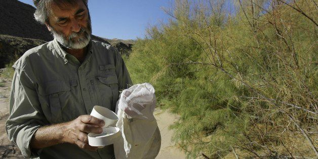 VIRGIN GORGE, AZ - SEPTEMBER 21:  Tom Dudley, an ecologist with UC Santa Barbara, collects the Diorhabda elongata, a tiny bee