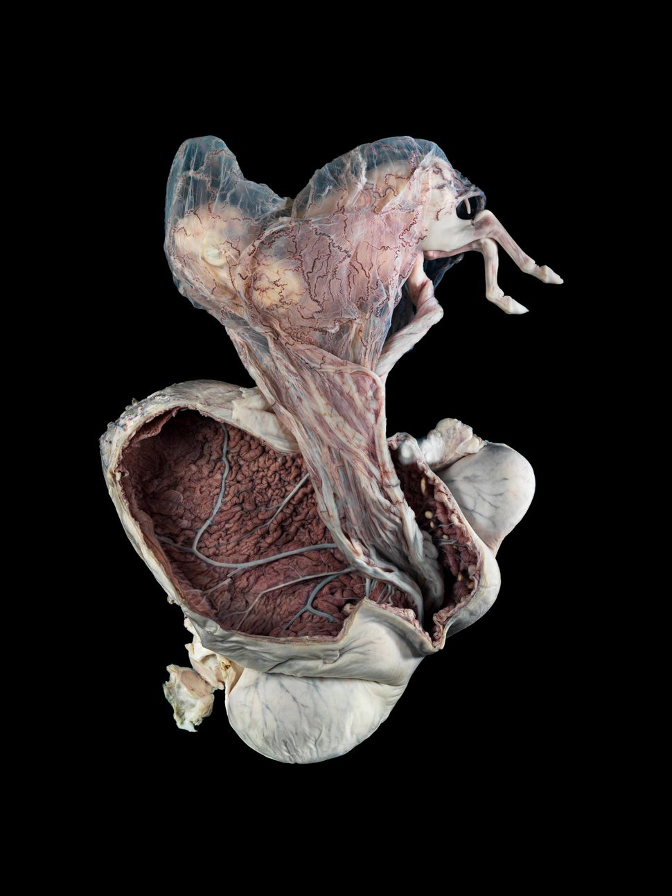 The uterus of a pregnant horse.
