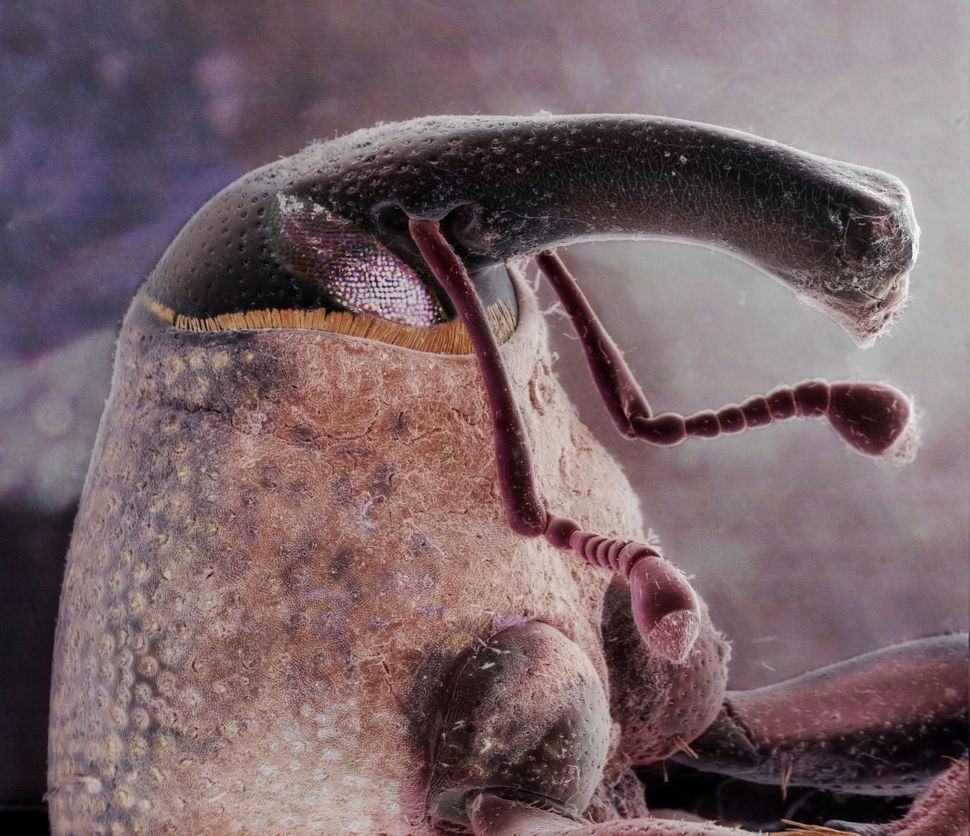 Boll weevil (Anthonomus grandis) image made with electron and light microscopy.