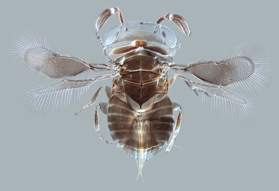 Parasitoid wasp Wallaceaphytis kikiae, made with light microscope.