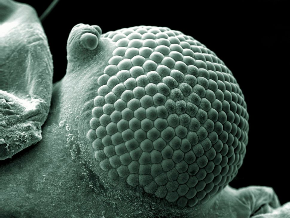 Scanning electron micrograph of a greenfly eye.