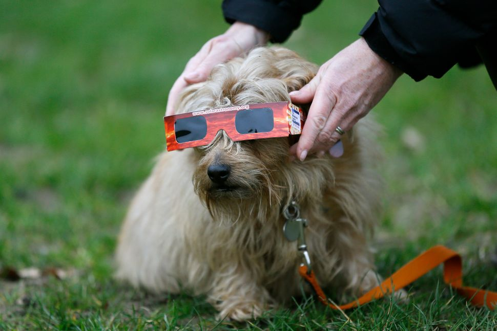 A skywatcher places solar glasses on a dog in preparation to view the eclipse in Regent's Park in London.