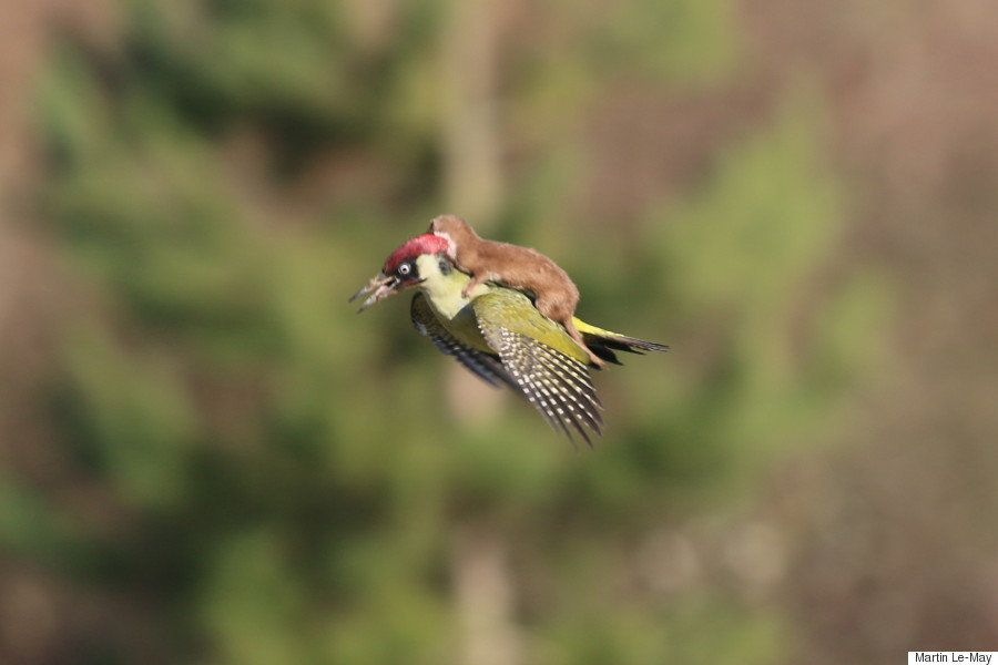 A baby weasel took the ride of a lifetime on the back of a green woodpecker in Hornchurch Country Park in East London. Photog