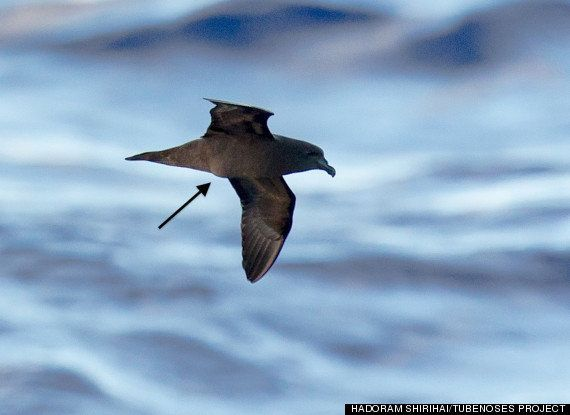 A rare Mascarene petrel with an egg-shaped bulge in its middle. Photographed in 2012 by researchers near Reunion, an island o