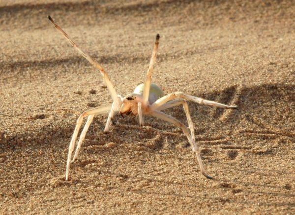 "This <a href=""http://www.esf.edu/top10/2015/03.htm"" target=""_blank"">desert-dwelling spider</a> escapes from danger by doing c"