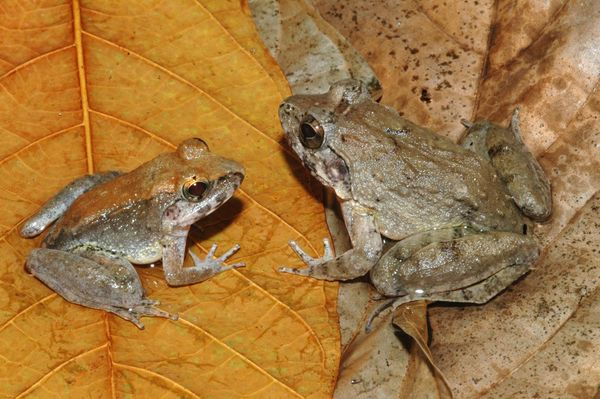 """While most frogs lay eggs, <a href=""""http://www.esf.edu/top10/2015/06.htm"""" target=""""_blank"""">this fanged amphibian</a> gives bir"""