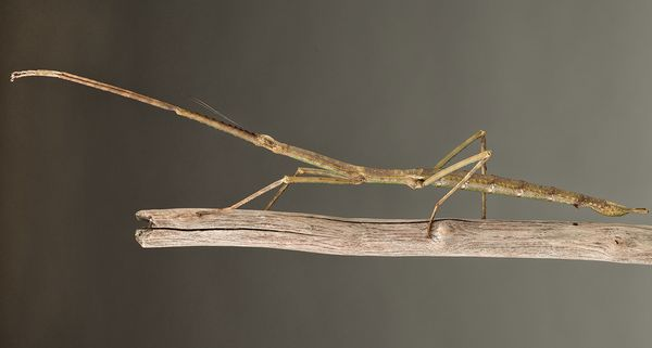 """This <a href=""""http://www.esf.edu/top10/2015/07.htm"""" target=""""_blank"""">9-inch stick insect</a> hails from Vietnam, but visitors"""