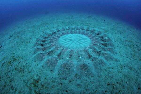 This intricate pattern is the work of Torquigener albomaculosus, or the white-spotted pufferfish, which creates these circles