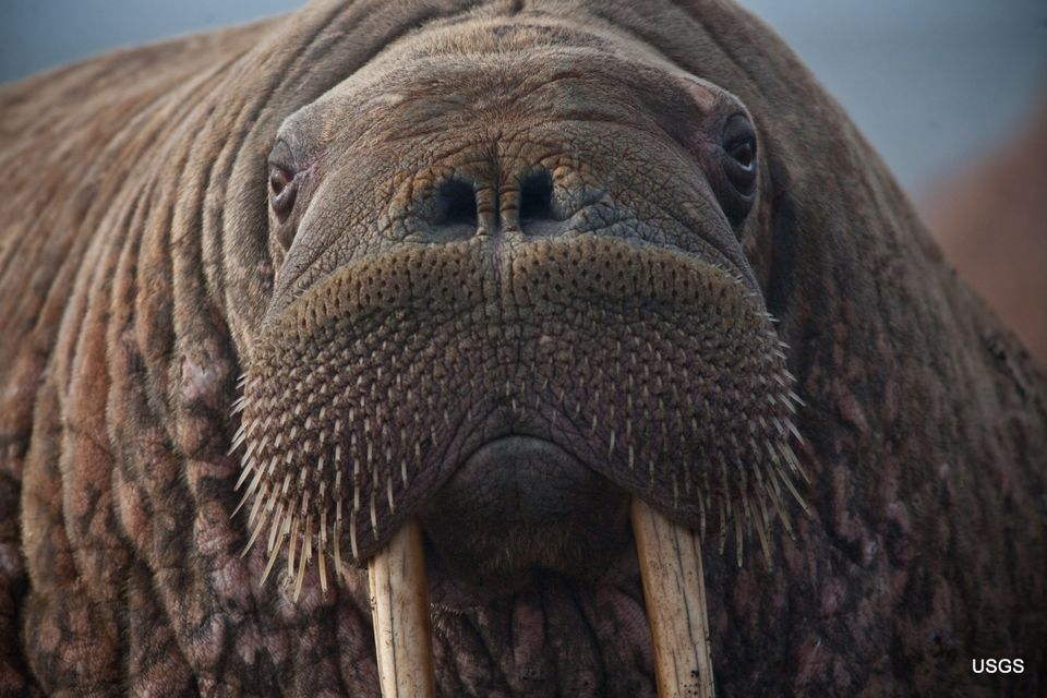 A close up of a female walrus resting after entering the haulout. Sand from the beach is evident on her tusks. Thousands of w
