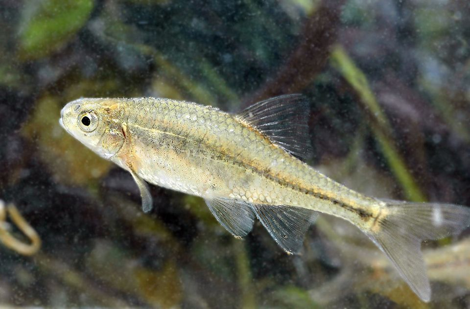 """Endemic to the Willamette River Valley of western Oregon, this small minnow was <a href=""""http://www.fws.gov/oregonfwo/species"""