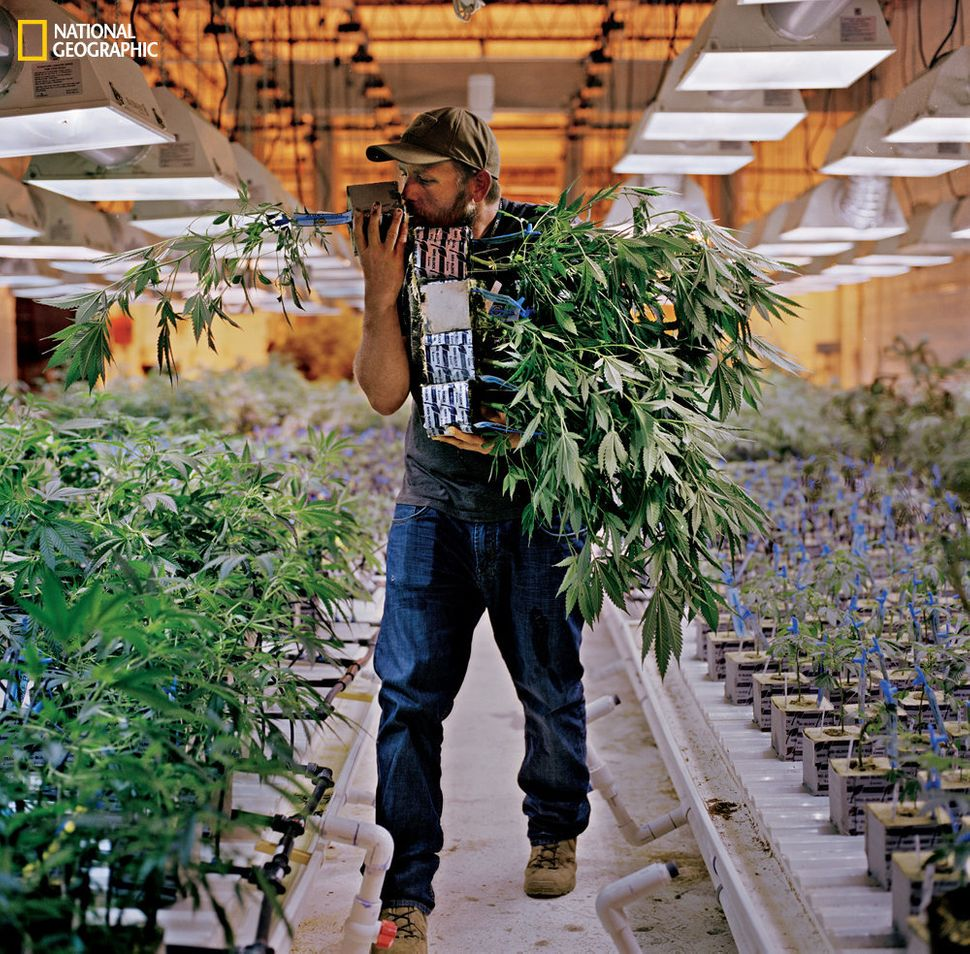 Phillip Hague, the chief horticulturist at a Denver cannabis company called Mindful, sniffs the roots of a plant to check on