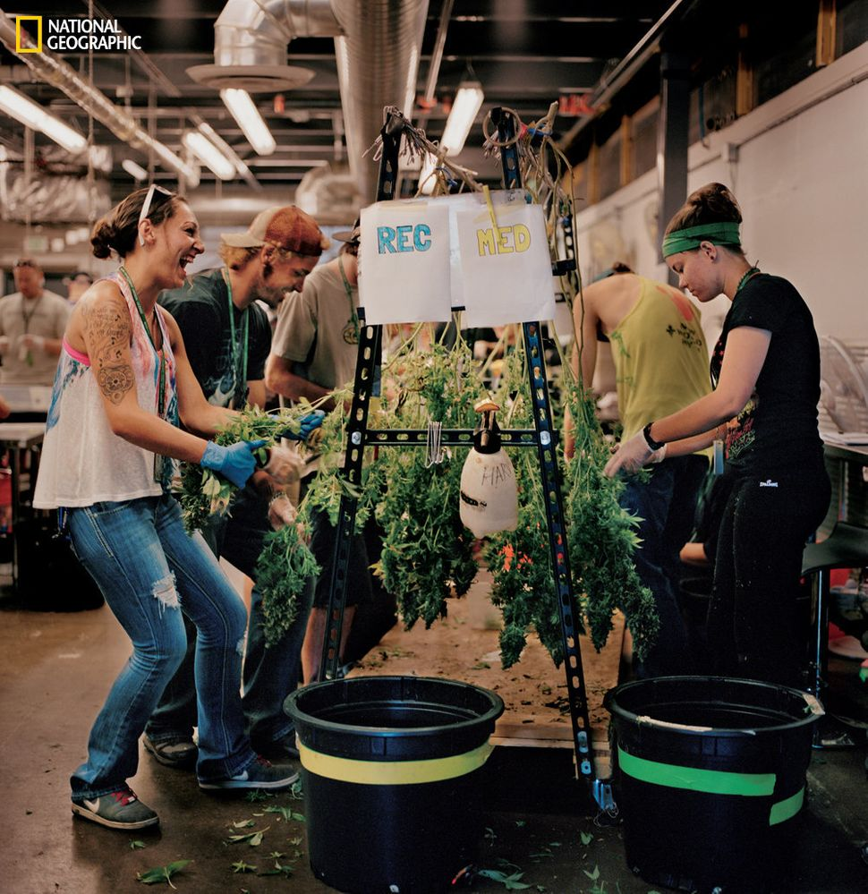 At Denver's LivWell, which has an enormous indoor growing operation, workers remove marijuana leaves before the buds are trim