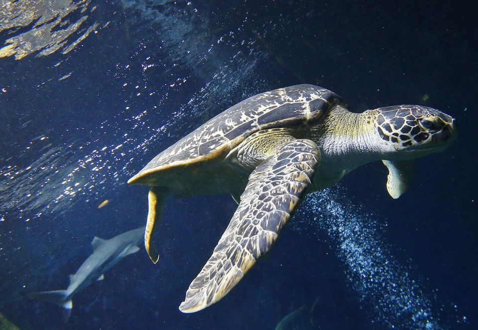 A green sea turtle (Chelonia mydas) swims in the aquarium of the Haus des Meeres ('House of the Sea'), in Vienna on June 27,