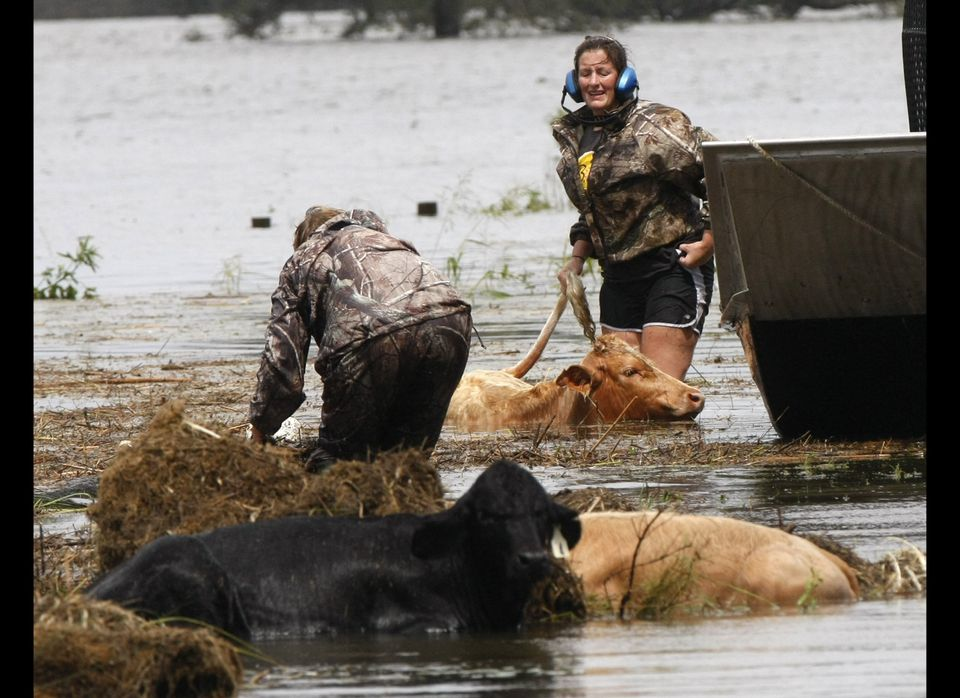 People rescue cows from floodwaters after Isaac passed through the region, in Plaquemines Parish, La., Thursday, Aug. 30, 201