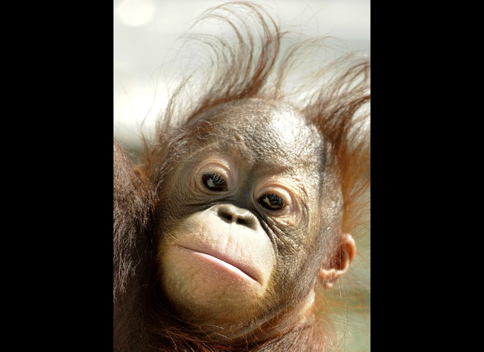 Orangutan baby Boo is pictured in his enclosure at Madrid's Zoo on April 14, 2011. The 9-months-old Orangutan was officially