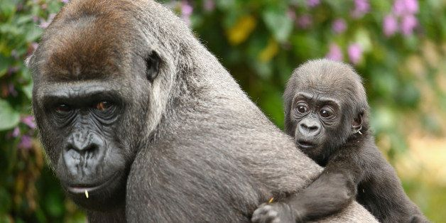 SYDNEY, AUSTRALIA - MAY 19:  Gorilla baby Mjukuu, who was born in 2014, is seen with his mother Mbeli as another yet to be na