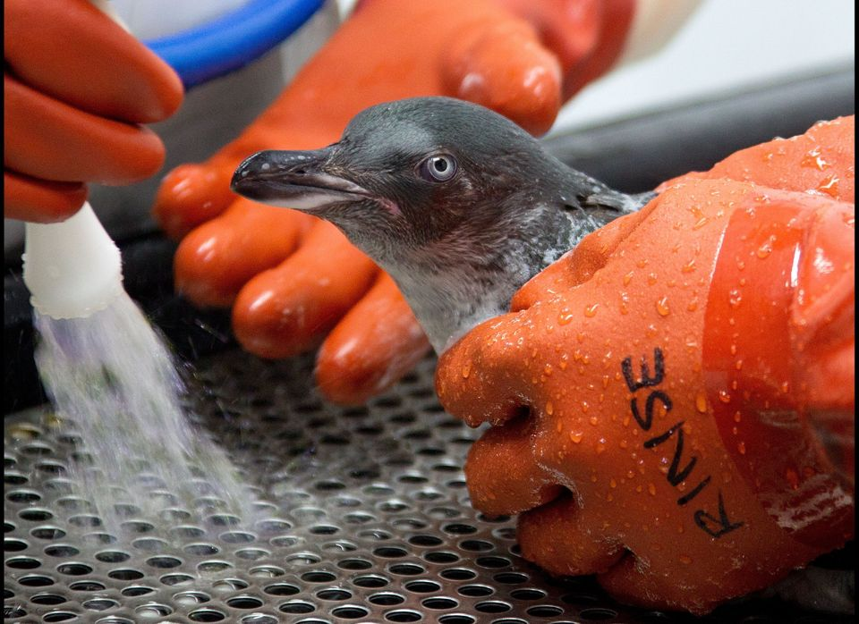 Oil is washed from a blue penguin at a wildlife facility at the Tauranga Wastewater Treatment Plant on October 18, 2011. New