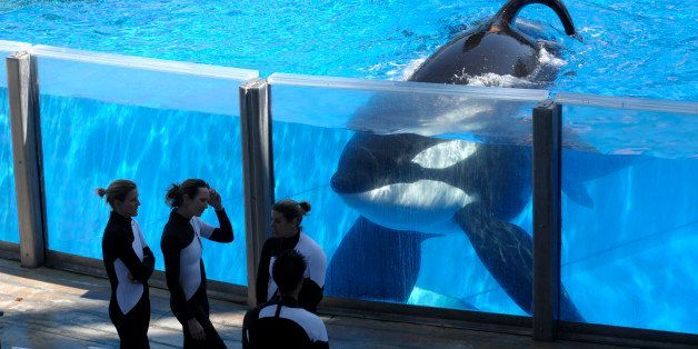 FILE - In this Monday, March 7, 2011, file photo, killer whale Tilikum, right, watches as SeaWorld Orlando trainers take a br
