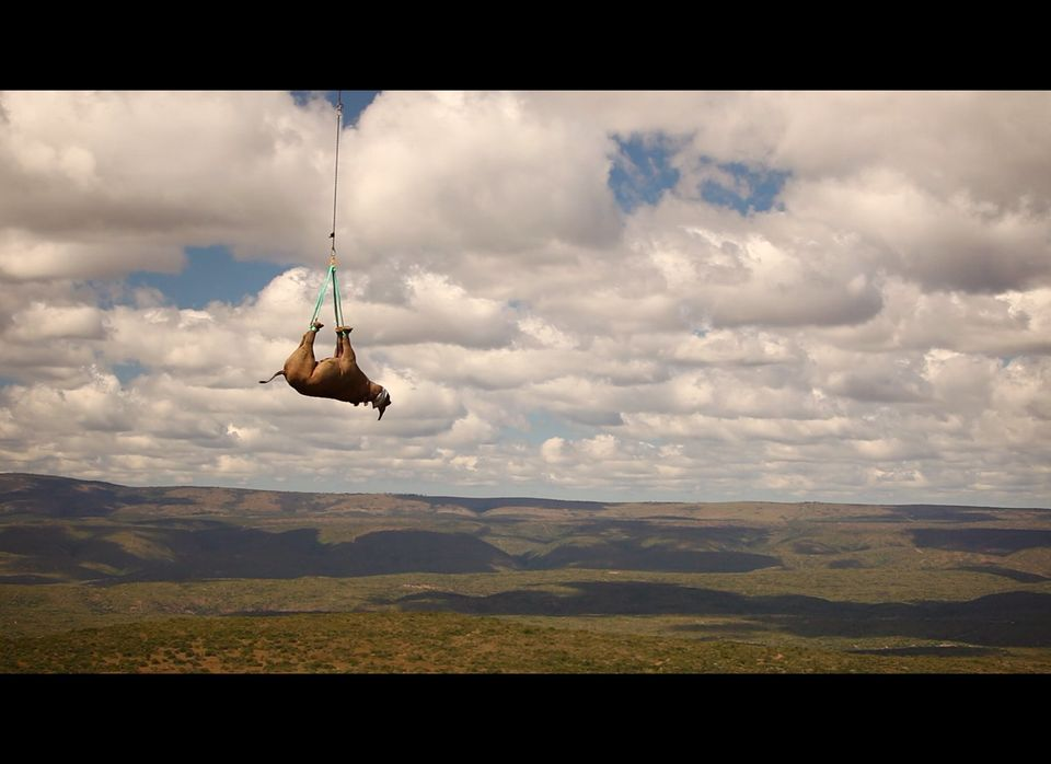 Black rhino being transported by helicopter to an awaiting land vehicle. The helicopter trip lasts less than 10 minutes and e
