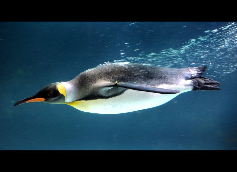 <em>From Getty:</em> A Gentoo penguin swims in a pool at the Melbourne Aquarium on November 10, 2011. The Aquarium was celebr