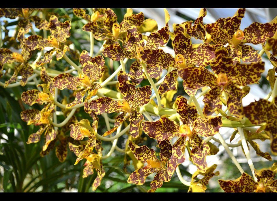 "BBG's Grammatophyllum speciosum (tiger orchid) blooms in 2011. Credit:  Uli Lorimer, Brooklyn Botanic Garden.  <a href=""http:"