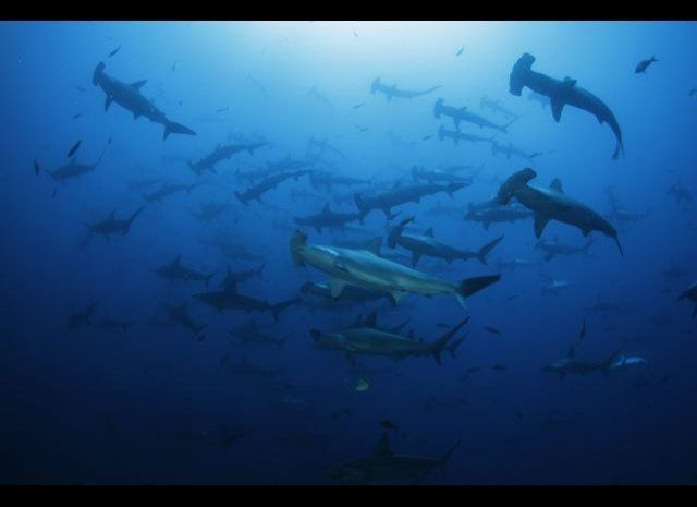 School of scalloped hammerhead swimming in Cocos Island