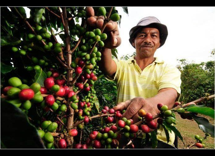 <em>A coffee picker in Colombia's Cauca department checks the season's crop.</em> Climate change is already affecting food an