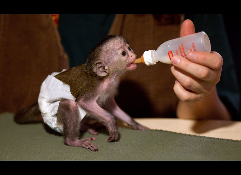 <em>From Getty:</em> A nine day old mona monkey is bottle-fed by its keeper on December 19, 2011 at the zoo in Magdeburg, eas