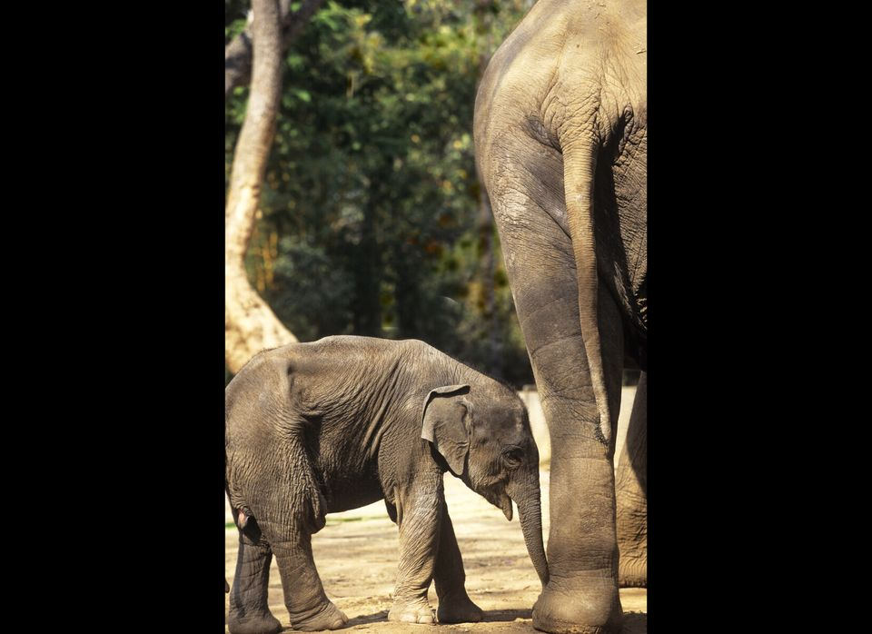 "<a href=""http://www.worldwildlife.org/species/finder/asianelephants/asianelephant.html"" target=""_hplink"">Asian elephants</a>"
