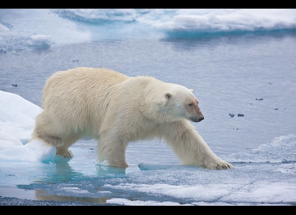 While traveling on melting summer sea ice this polar bear carefully pressed his paws on a stretch of ice to determine if it w