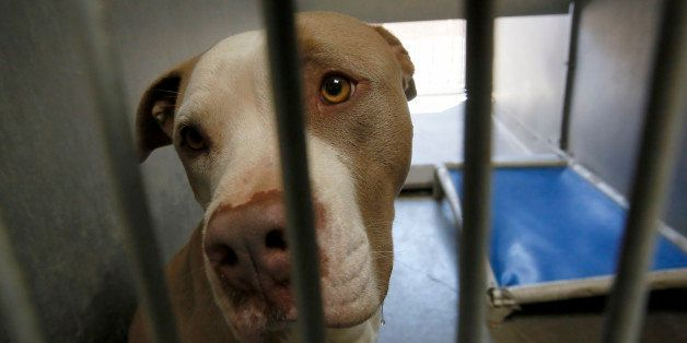 One of the pit bull seized by authorities housed in Los Angeles County Animal Shelter in Lancaster. DNA testing is being done