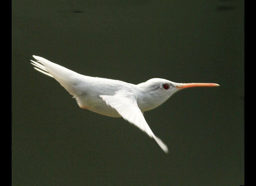 While taking his turn at one of the family cameras, nine-year-old Allen Shank captured this shot of an albino ruby-throated h
