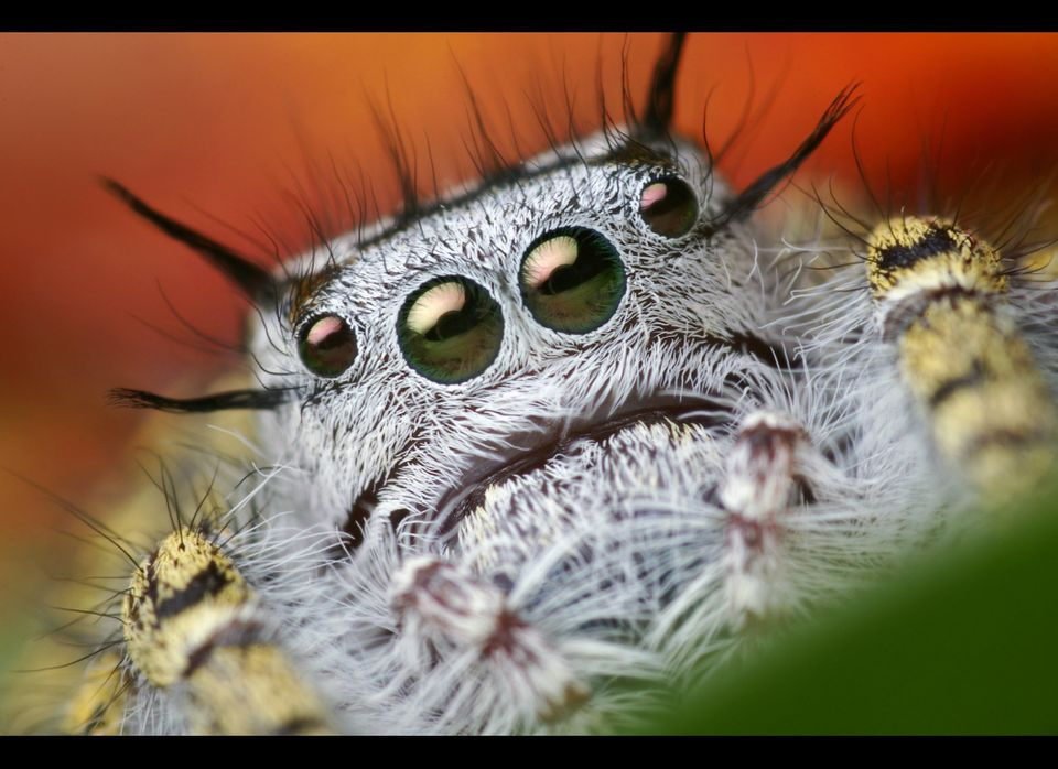 """Here's a beautiful adult female Phidippus mystaceus jumping spider I photographed back in 2008. I spotted her in a bush whil"