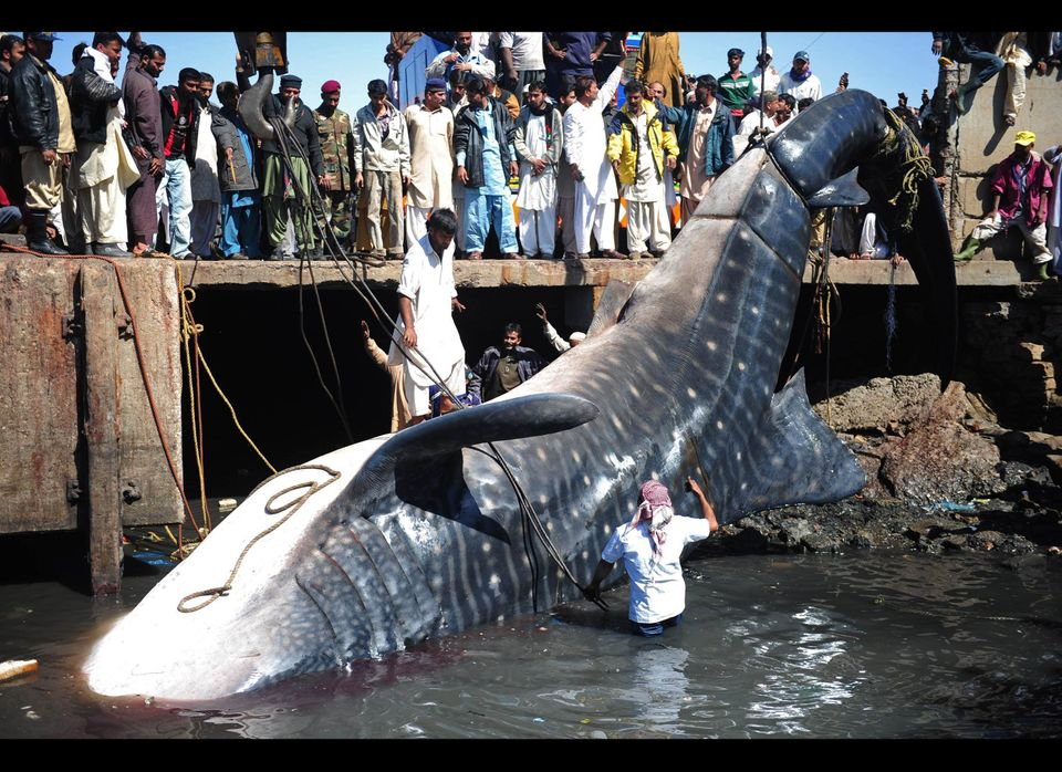 Pakistani fishermen use cranes to pull the carcass of a whale shark from the waters at a fish harbor in Karachi on February 7