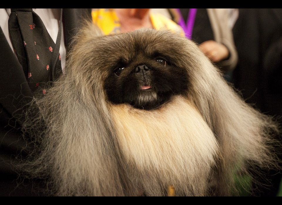NEW YORK - FEBRUARY 14:  Pekingese Malachy poses for photographers after winning Best in Show at the Westminster Kennel Club