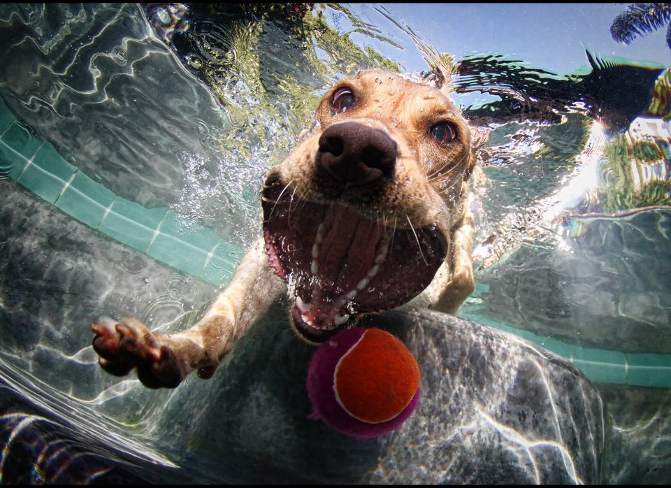 A Yellow Labrador Retriever pursues a ball under the water. Credit: Seth Casteel, Tandemstock.com