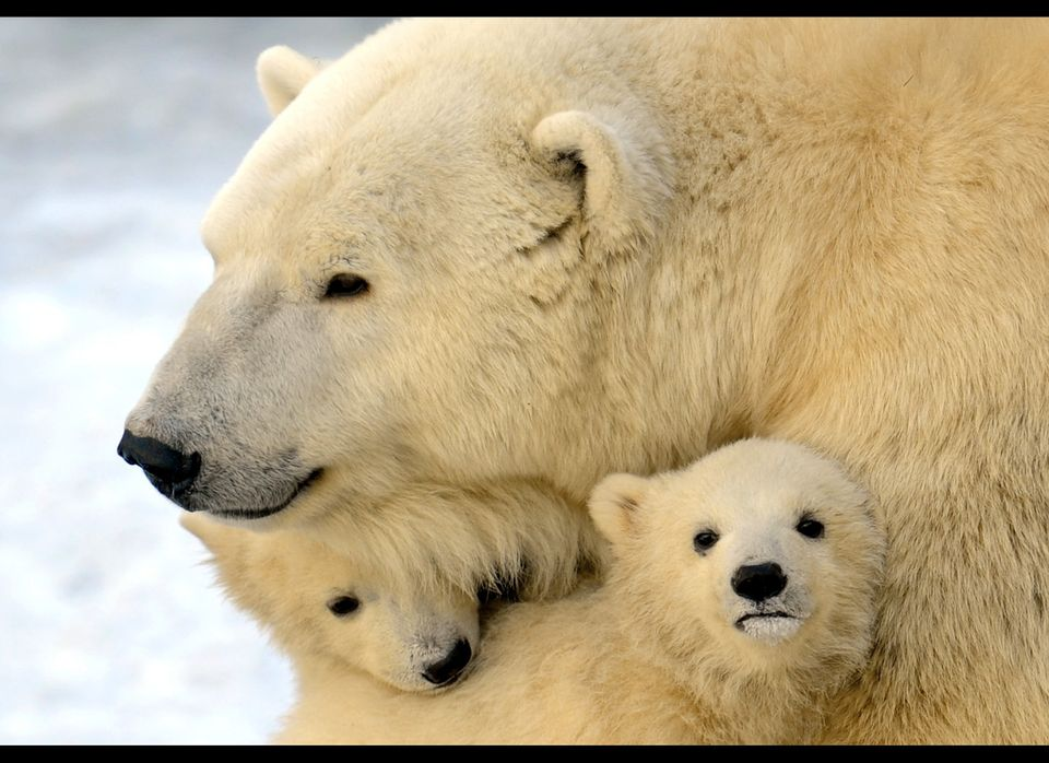 <em>From Getty:</em> A mother polar bear plays with two of her three cubs born in  last November, at the Moscow Zoo, on March