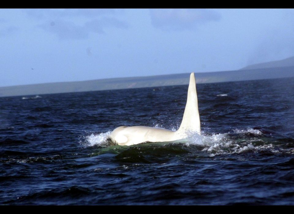 Iceberg, the first adult all-white orca bull discovered in the wilde. (Far East Russia Orca Project.)