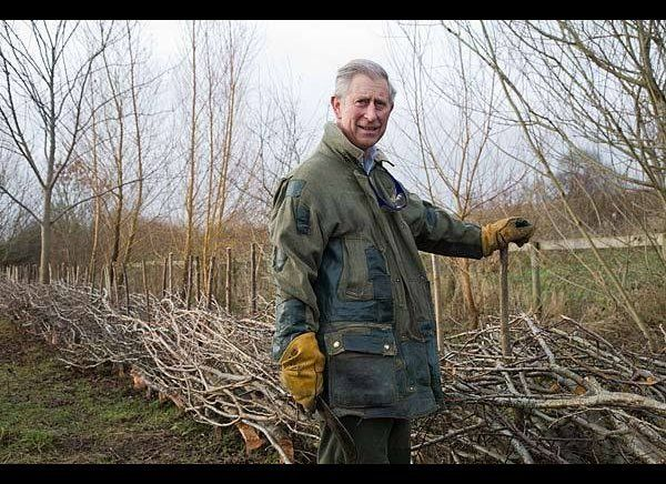 The Prince of Wales hedgelaying on his Home Farm Estate. 27,000 metres of new hedges, many forming new green lanes, have been