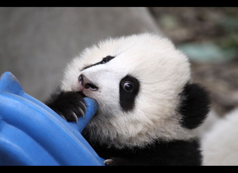 A baby panda plays in a enclosure at the Giant Panda Research Base in Chengdu, southwest China's Sichuan province on June 24,