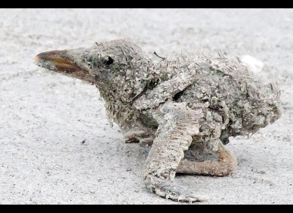 In this Sunday, June 24, 2012 photo provided by Lou Newman, a black skimmer chick is covered in sand at Anna Maria beach in B